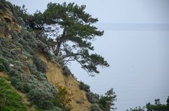 There is a pine tree with roots on the cliff stock image