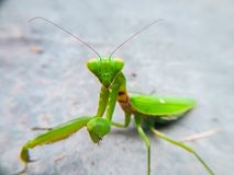 Mantis on the concrete floor. There is a praying mantis on the concrete. Maybe it falls from a tall tree next to it Royalty Free Stock Images