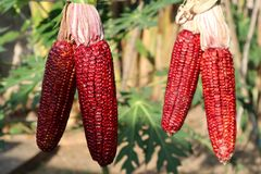 Four red corn stock photography