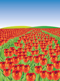 There are red tulips field. There are a red beautiful tulips field Stock Photo