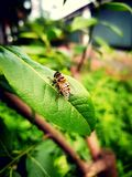 There`s a bee on leaves royalty free stock photography