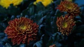 Orange bloom Flower Royalty Free Stock Images