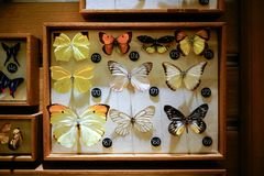 Butterfly specimens from the Shanghai museum of nature. There are several kinds of butterfly specimens in Shanghai nature museum Stock Photography