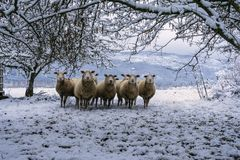 Sheep in the field. There are sheep under the trees in the field. There is snow and the weather is cold Stock Photos
