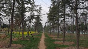 There is a small road for people to walk in the green pine forest in the park. stock photography