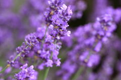 There are about 25 species of lavender Stock Images