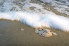 Sand dollar on the beach. There are still a few places left on the coast that have not been taken over by development. Places that still allow one to visit the Royalty Free Stock Photo
