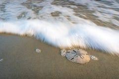 Sand dollar on the beach Royalty Free Stock Photo