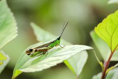 Grasshopper on a green leaf royalty free stock image