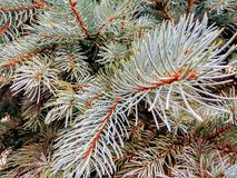 Blue spruce, growing in Odessa stock image