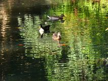 Ducks by the pond Royalty Free Stock Photo
