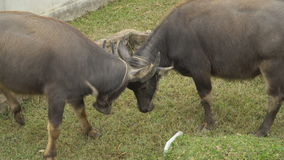 There are two buffalo. Asia. On the grassy pasture, there are two young buffalo stock video footage