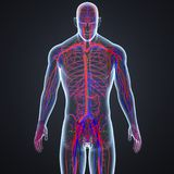 Arteries, Veins and Lymph nodes in Human Body Anterior view. There are two types of blood vessels in the circulatory system of the body: arteries that carry Royalty Free Stock Photography