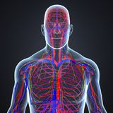 Arteries, Veins and Lymph nodes in Human Body Anterior view. There are two types of blood vessels in the circulatory system of the body: arteries that carry Stock Photo