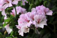 There are very many kinds of Geraniums flowers Royalty Free Stock Photos