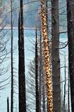 A spotted tree without most of its bark, after the fire Stock Images