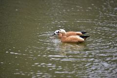 Mandarin duck on lake. There were only two small mandarin ducks playing in the water, stirring some excellent rippling waves stock photography