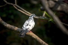 There is a white pigeon sitting on Lal Kath Golap. Also called Frangipani, plumeria is a subtropical or tropical flower related to oleander. Its flowers are Stock Images