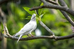 There is a white pigeon sitting on Lal Kath Golap. Also called Frangipani, plumeria is a subtropical or tropical flower related to oleander. Its flowers are Stock Photos