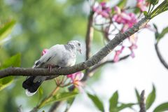 There is a white pigeon sitting on Lal Kath Golap. Also called Frangipani, plumeria is a subtropical or tropical flower related to oleander. Its flowers are Royalty Free Stock Photo