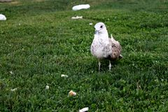 Seagull. There is a white seagull standing on the grass royalty free stock photos