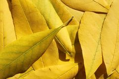 Yellow leaves. There are yellow leaves close-up Stock Images