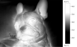 Thermal image photo, dog, french bulldog,. Gray scale Royalty Free Stock Images
