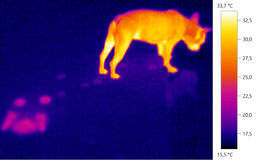 Thermal image photo, dog, french bulldog puppy. Color scale Stock Photography