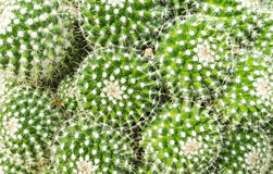 Thermal plants cactus plant group growth in the desert Stock Photography