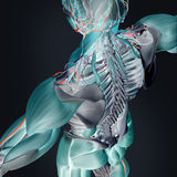 Thermal scan of human anatomy. Thermal like illustration of human anatomy with details of muscles and skeleton of back and shoulders Stock Photo
