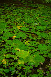 Thermal water lily Stock Photos