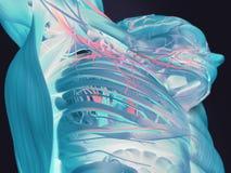 Thermische beeldspraak van menselijke anatomie Royalty-vrije Stock Foto