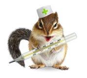 Thermomètre animal drôle de prise de tamia, concept vétérinaire sur le wh Photo libre de droits