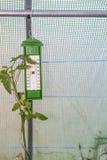 Thermomètre dans une petite serre chaude avec l'élevage de plante de tomate Photographie stock