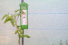 Thermomètre dans une petite serre chaude et un élevage de plante de tomate Images libres de droits