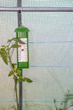 Thermometer into a little greenhouse with tomato plant growing Stock Photography