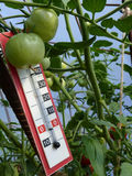 Thermometer Placed in Plastic Greenhouse with Tomato Plants Royalty Free Stock Photo