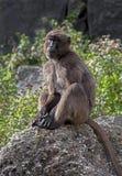 theropithecus женского gelada павиана латинское названное Стоковые Фотографии RF