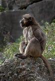 theropithecus женского gelada павиана латинское названное Стоковые Изображения RF