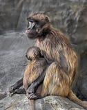 theropithecus женского gelada павиана латинское названное Стоковая Фотография