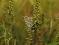 Thersites blu di Polyommatus della farfalla del ` s di Chapman fotografie stock
