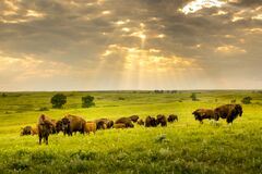 Free These Impressive American Bison Wander The Kansas Maxwell Prairie Preserve Royalty Free Stock Photos - 196015428