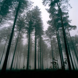 Thetford Forest. Winter deep in Thetford Forest stock image