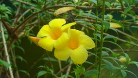 Thevetia peruviana Blume stockfotografie