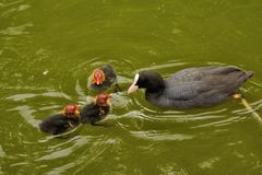Free They`re Ugly But They`re Mine! Family Of Coots. Royalty Free Stock Images - 132622279