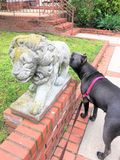 Power instinct  dog statue  lion. Thhere is real example of instinct , which is behavior of dog without thinking about object ..Its not important for pet that Stock Photos