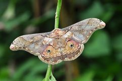 Thibet silkmoth butterfly Stock Image