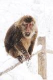 Thibetana de Macaca à l'emei de Mt. photographie stock libre de droits