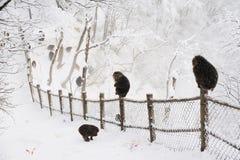 Thibetana del Macaca en el emei del Mt. Imágenes de archivo libres de regalías