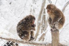 Thibetana del Macaca en el emei del Mt. Fotografía de archivo libre de regalías